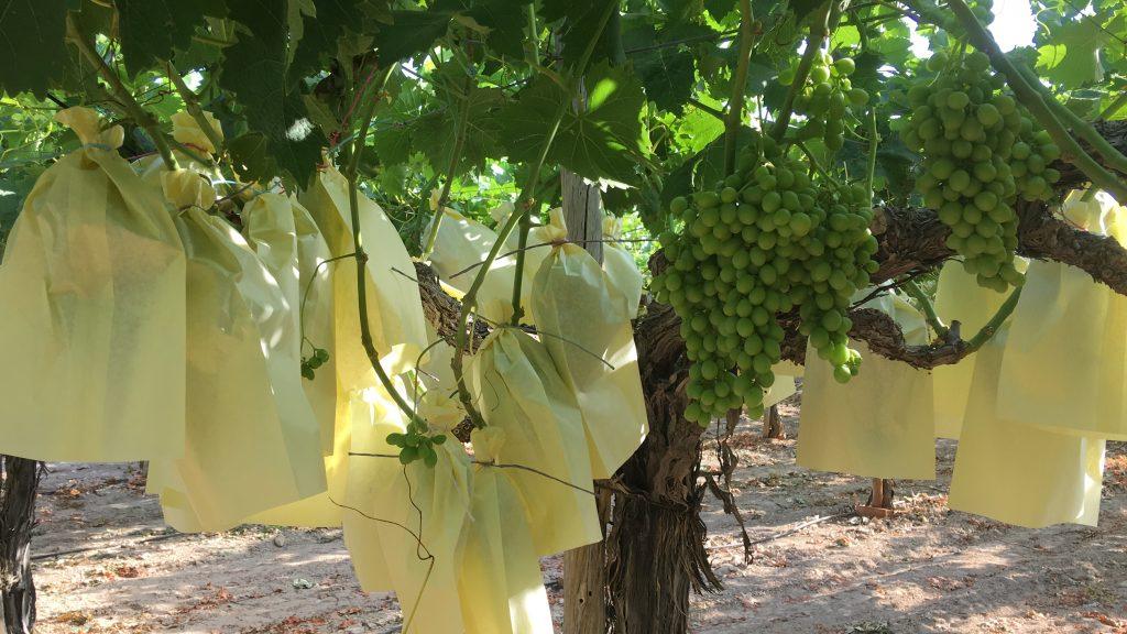 Uva de mesa embolsada del vinalopó en las huertas de UvaRica Se aprecia el bolso atado con rafia con su color amarillento.