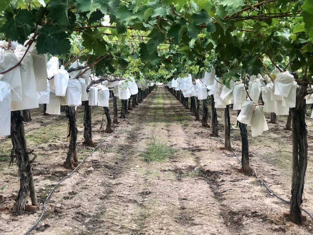 Campos de uva de mesa embolsada en uvarica. En verano los campos se ven de esta manera en el Medio Vinalopó con las uvas embolsadas.