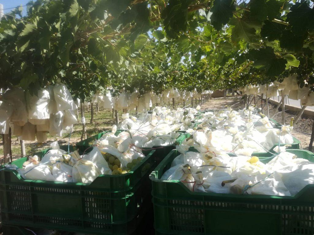Proceso de recolección de la uva de mesa embolsada del vinalopó. Racimos recién cortados previos a llevar a los almacenes para su limpieza.