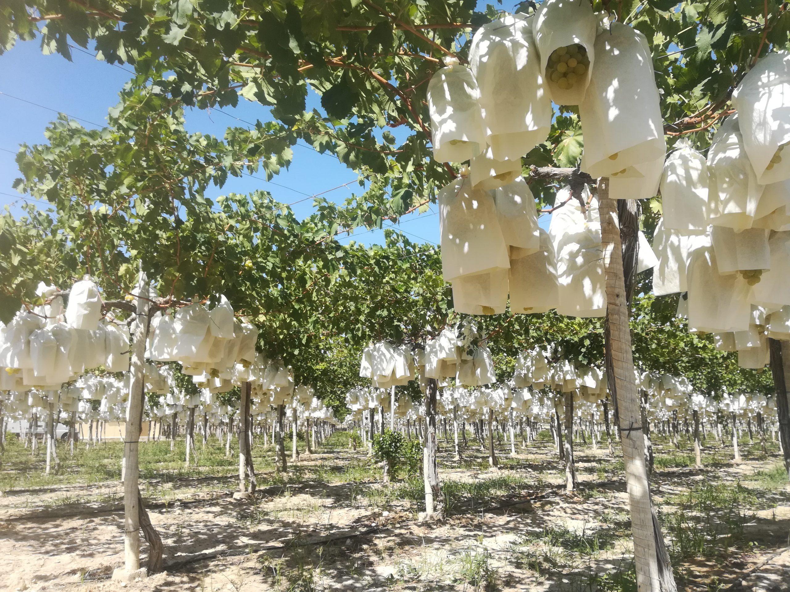 Embolsado - Campos de uva de mesa embolsada del vinalopo