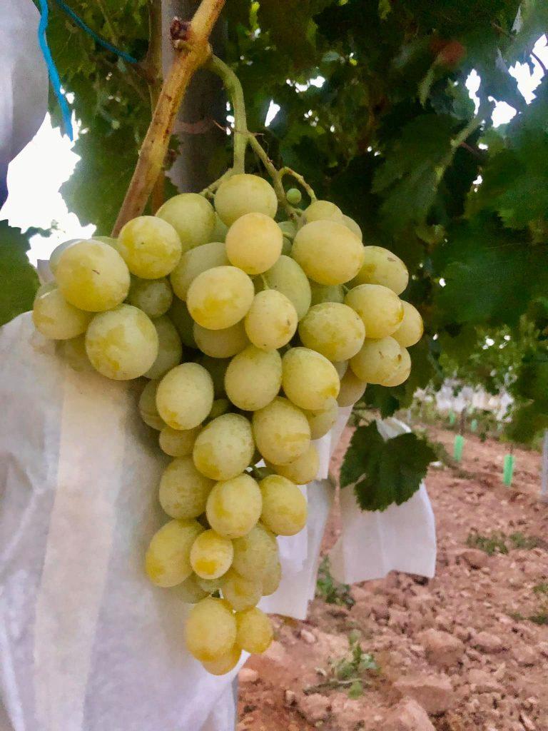 Racimo de uva de la variedad Doña Maria