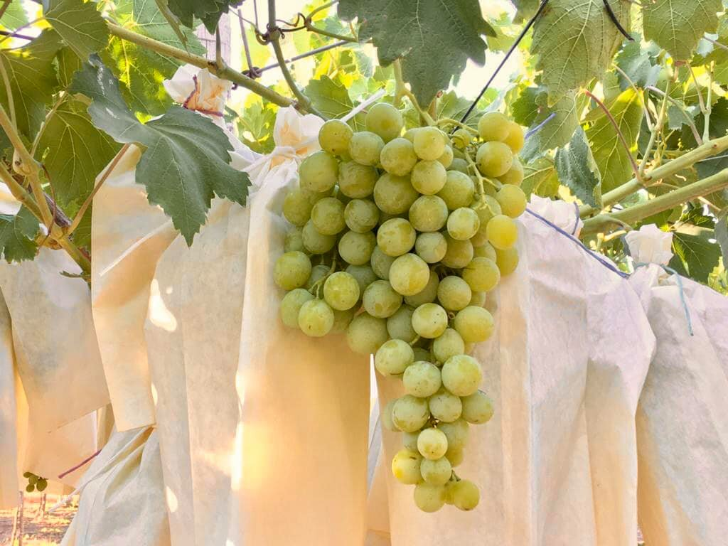 Racimo de uva de la variedad Moscatel
